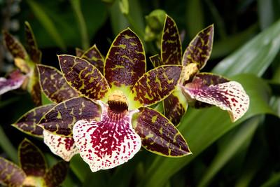 Zygopetalum Orchid, Artur Elle 'Stonehurst', Montréal Botanical Garden , Montréal, Quebec, Canada.