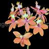 Epidendrum Peach Valley 'Dream Song'
