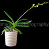 Miniature Phalaenopsis Orchid in bud