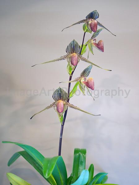 Paph rothschildianum 'Fujimi'