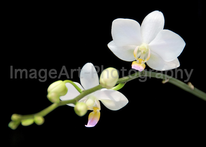 Miniature white Phalaenopsis Orchid