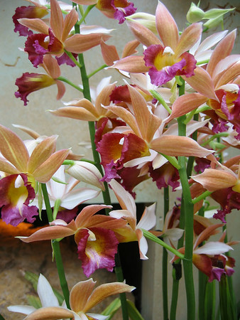 Magenta-lipped orchids.