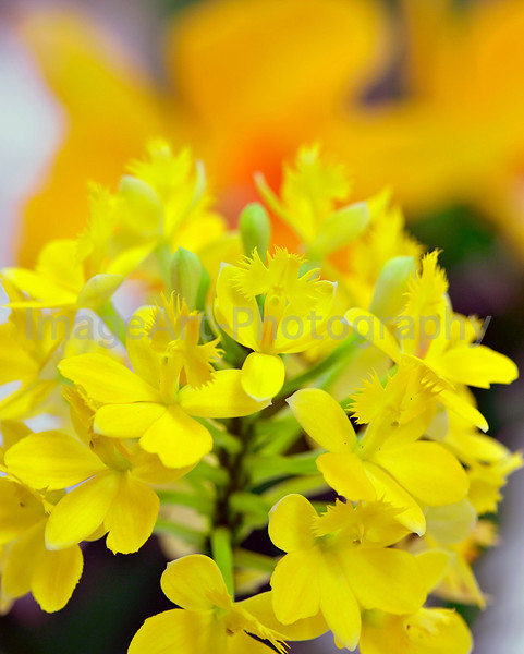 Yellow Epidendrum orchid