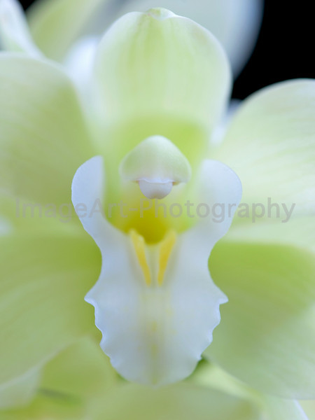 "Cymbidium Orchid ""Mem. Jacqueline Oyston 'Icy Princess'"""