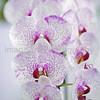 "Doritaenopsis Sinon Spark Ruby ""SN 11"""