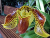 yellow and red slipper orchid