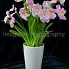 Miltoniopsis Vexillaria