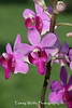 Pink Doritanopsis Orchid on a green background