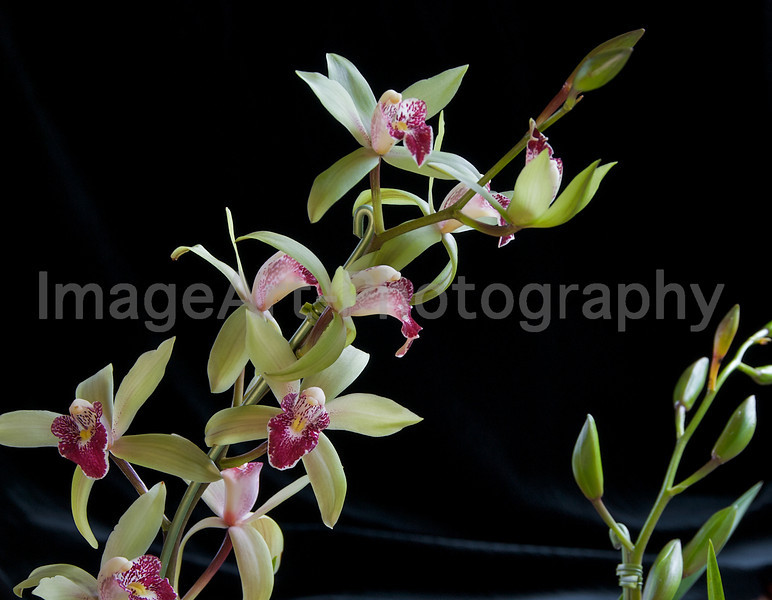 Sprays of miniature Cymbidium orchid flowers