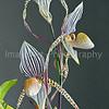 Orchid Hybrid Paphiopedilum Saint Swithin