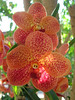 Red speckled orchids.