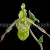 Phragmipedium Pearcei 'Katydid' x 'Ray'