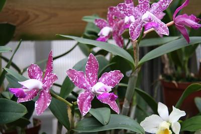 Hans Christiansens orkideer
