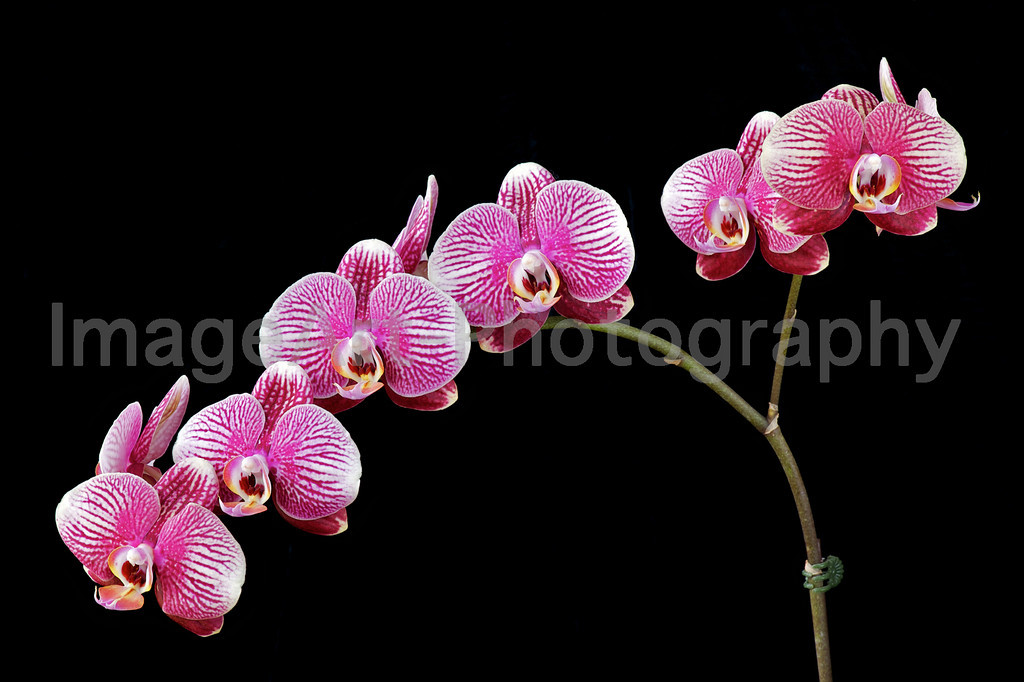 Phalaenopsis Champion Phantom