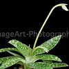 Paphiopedilum Maudiae in bud