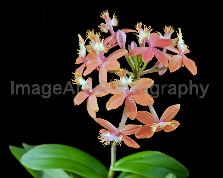 Epidendrum Peach Valley 'Dream Song'