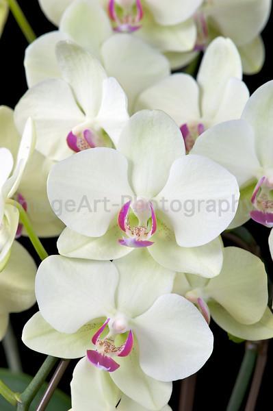 Phalaenopsis orchid Fortune Saltzman 'Maple Bridge'