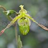Orchid Phragmipedium Pearcei 'Katydid' x 'Ray'