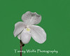 Paphiopedilum niveum isolated on green