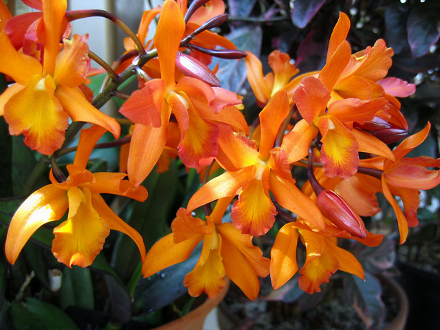 These orange orchids are one of my favorites.  The unopened flower buds look like chili peppers to me.