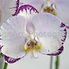 """Doritaenopsis Arakaki Spring Fairy 'Arakaki """"#1'"""