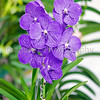 Purple Vanda Orchid