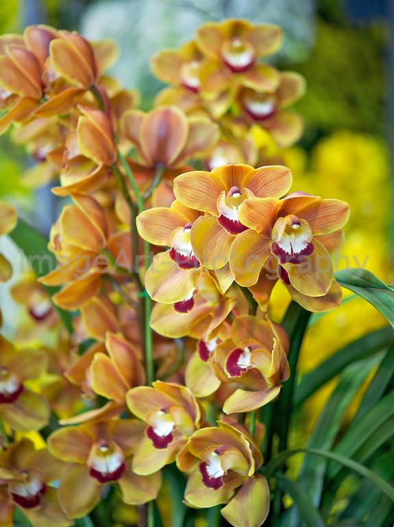 Orange cymbidium orchids