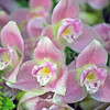 Pink Lycaste Orchid