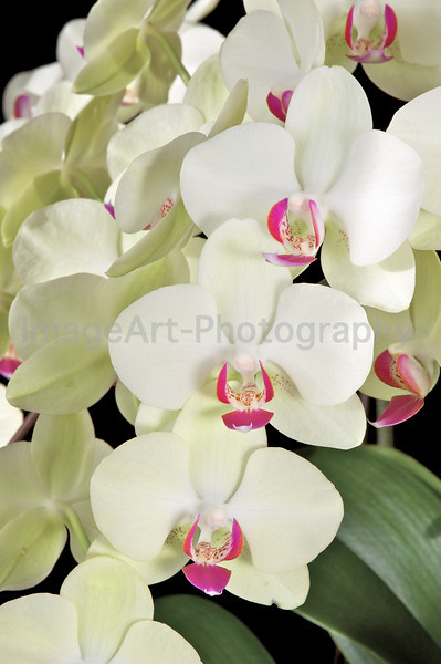 Phalaenopsis orchid Fortune Saltzman 'Maple Bridge'