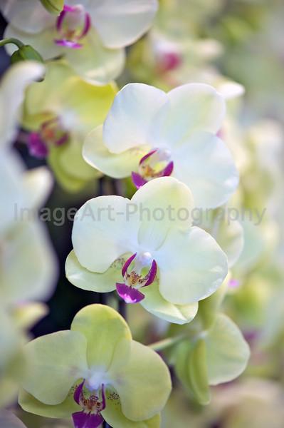 Phalaenopsis Fortune Saltzman 'Maple Bridge'