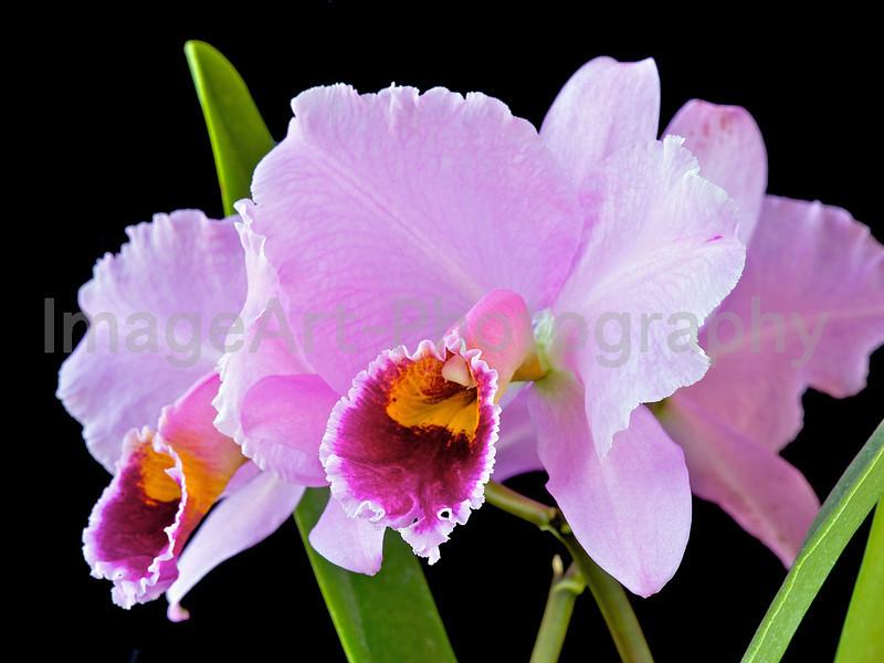 Cattleya percivaliana ('Mem. don Eugenio' x 'Summit')