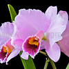 Cattleya percivaliana ('Mem. don Eugenio' x 'Summit')