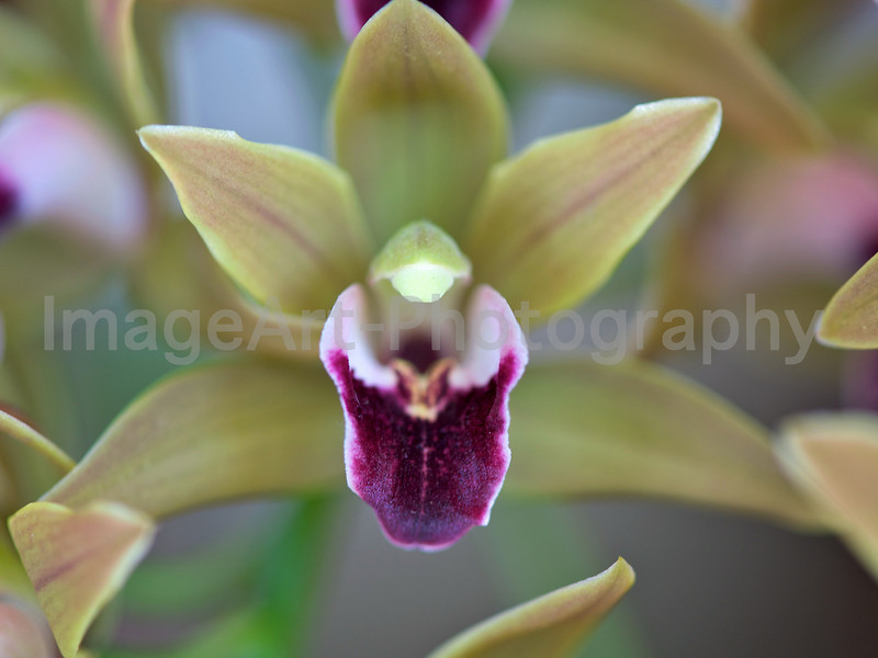 Cymbidium devonianum 'Berry'