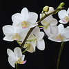 White Dorita Phalaenopsis