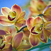 Orange Cymbidium Orchid