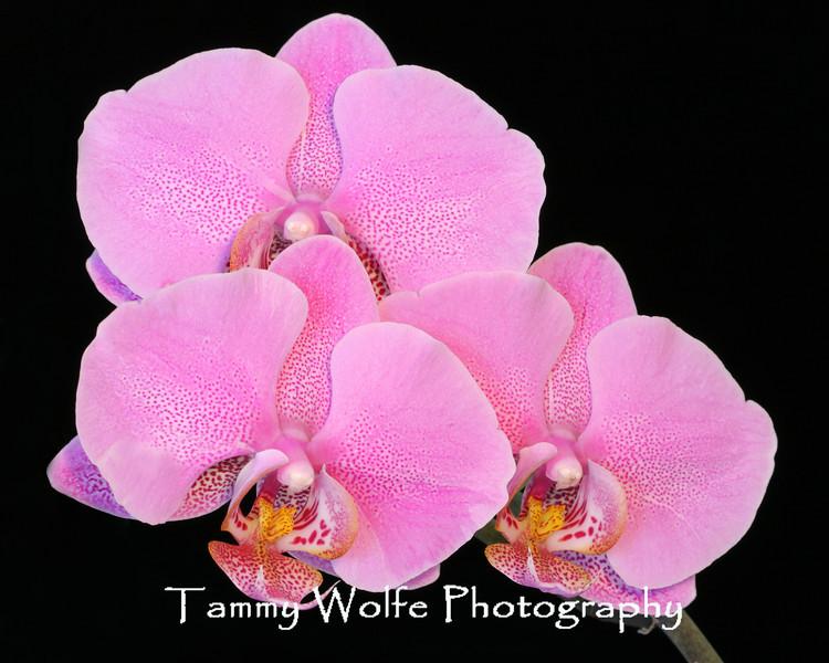Pink Phalaenopsis Orchid isolated on black background