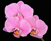 Pink Phalaenopsis Orchid isolated on black background