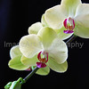 Green and Pink Phalaenopsis