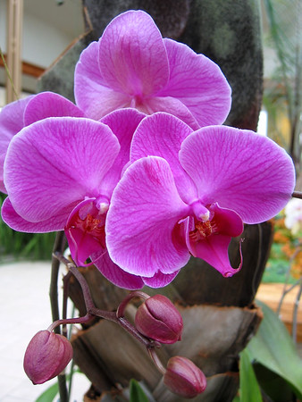 Lavender orchids with buds.