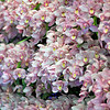 A wall of Pink Cymbidium orchids