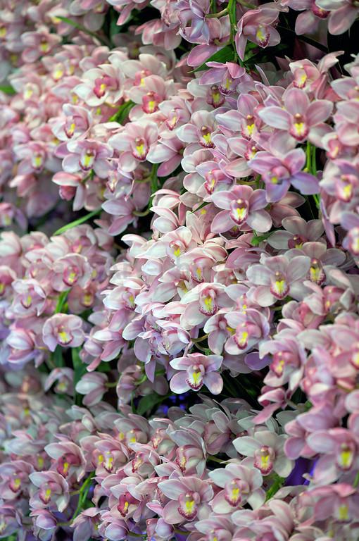 A wall of Pink Cymbidium orchids