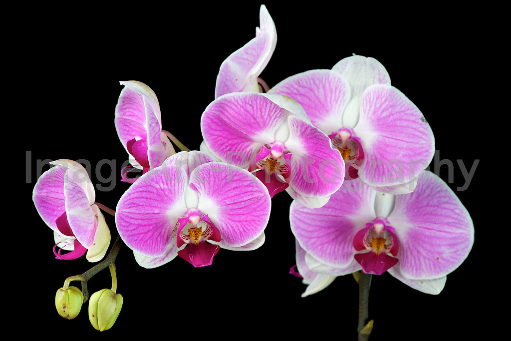 Phal. Tinny Honey