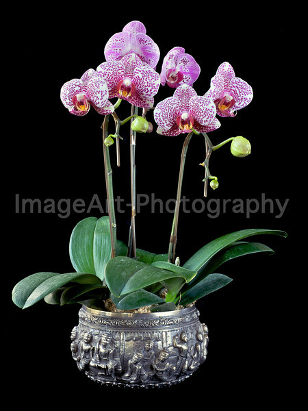 Phalaenopsis orchids in a silver bowl
