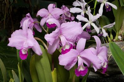 Violet and Mauve Cattleya Orchids, Montréal Botanical Garden , Montréal, Quebec, Canada.