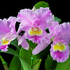 Blc Spring Dawn 'Top Row' BM-JOGA