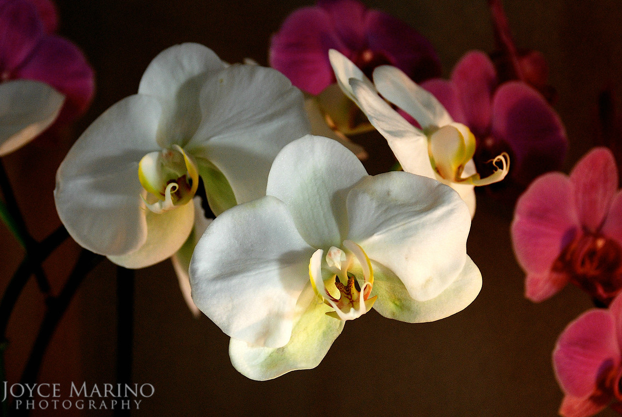 Orchids -- DSC_0036