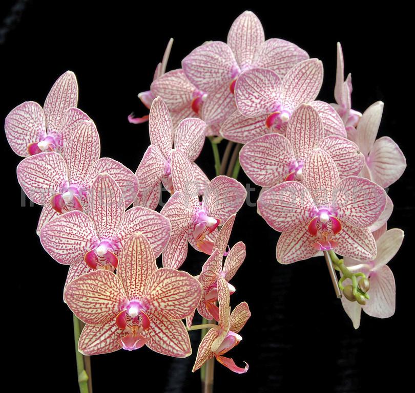 Phalaenopsis Brother Girl