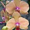 Orchid Dtps. Taida Auckland 'Taida' SM/JOGA