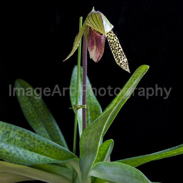 "Paphiopedilum Orchid ""Iantha Stage"""