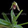 "Paphiopedilum Orchid ""Iantha Stage"""